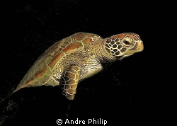 out of the dark - nightly encounter with a turtle by Andre Philip 
